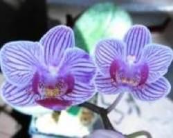 Graduation Orchids