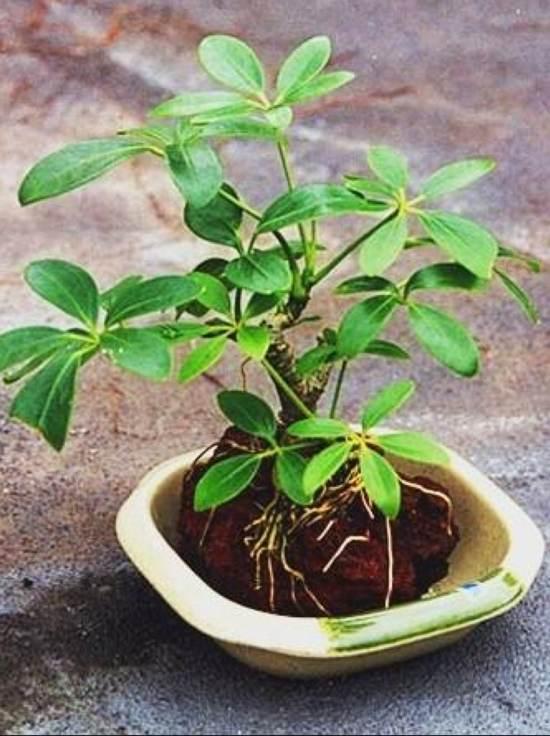 Bonsai Indoor Lava Plantings