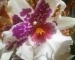 Intergeneric Oncidium, Beallara, brassia, miltonia Grower's Choice