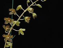 Grammatophyllum, 'Fely's Sunshine'