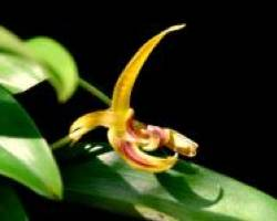 Bulbophyllum, Grower's Choice (semi-miniature plants)flower often.