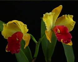 Cattleya, Grower's Choice