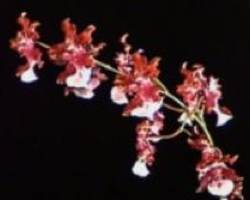 Chocolate Orchid, Oncidium Sharry Baby
