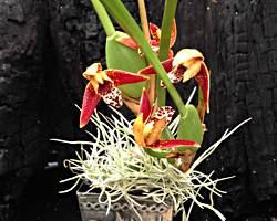 Coconut Orchid, Maxillaria tenufloria