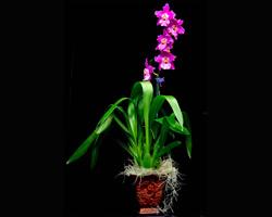 Aloha Nui Loa (All My Love) 2 Orchid Gift Basket