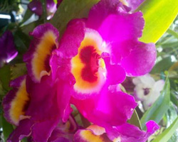 Scented Dendrobium Nobile, Grower's Choice