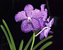 Vanda, Grower's Choice