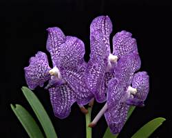 Blue Vanda-WILL BLOOM IN 2-8 MONTHS
