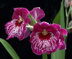 Pansy Orchid, Miltionopsis-Grower's Choice
